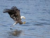 Americano Eagle Fish Grab calvo fotografía de archivo