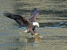 Americano Eagle Fish Grab calvo fotos de archivo