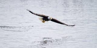 Americano Eagle Fishing calvo el río Misisipi Imagenes de archivo