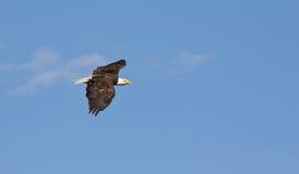 Americano Eagle Gliding Through The Air Immagine Stock