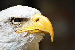 Americano Eagle Head Shot calvo Foto de archivo