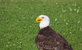 Americano Eagle Sitting In The Grass Imagem de Stock Royalty Free