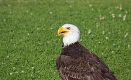 Americano Eagle Sitting In The Grass Imagen de archivo libre de regalías