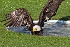 Americano Eagle Taking un bagno Fotografie Stock Libere da Diritti