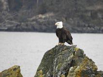 Americano empoleirado Eagle Fotografia de Stock Royalty Free