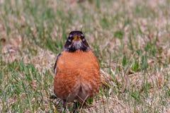 Americano grassottello e lanuginoso Robin, migratorius del Turdus immagini stock libere da diritti