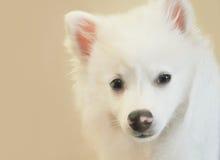 Americano Husky Dog Closeup Imagen de archivo libre de regalías