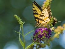 Americano masculino Tiger Swallowtail Butterfly Foto de Stock