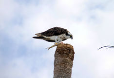 Americano Osprey Imagenes de archivo