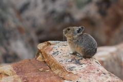 Americano Pika - Jasper National Park Immagine Stock Libera da Diritti