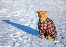 Americano Pit Bull Terrier que se sienta en nieve con una bola en su mou imágenes de archivo libres de regalías