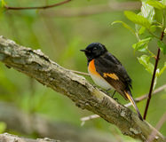 Americano Redstart Immagine Stock