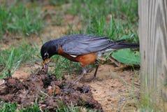 Americano Robin con i vermi Immagine Stock