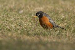Americano Robin contro il verme Fotografia Stock Libera da Diritti