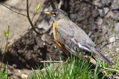 Americano Robin di primavera Fotografia Stock