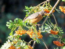 Americano Robin di Thornhill su un albero 2017 della sorba Fotografia Stock Libera da Diritti