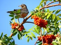 Americano Robin di Thornhill sull'albero 2017 della sorba Fotografie Stock