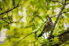 Americano Robin Juvenile en un árbol Fotos de archivo