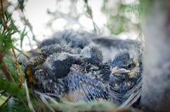 Americano Robin Nest Fotografia de Stock