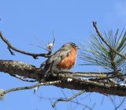 Americano Robin Perched en un árbol de pino Foto de archivo