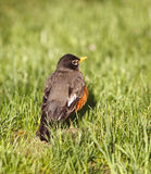 Americano Robin in primavera Fotografie Stock