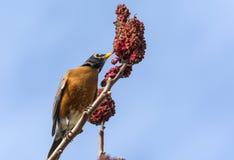 Americano Robin su uno staghorn 2 del sumac Fotografia Stock