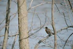 Americano Robin sull'albero Fotografia Stock