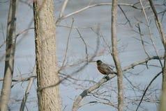 Americano Robin sull'albero Immagine Stock Libera da Diritti