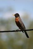 Americano Robin sulla linea elettrica fotografie stock