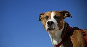 Americano Staffordshire bull terrier 2 Imagens de Stock
