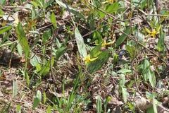 Americanum amarillo de Lily Erythronium de la trucha Fotografía de archivo
