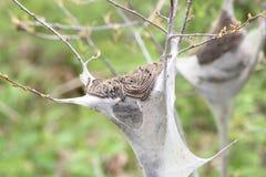 Americanum del este del Malacosoma de Caterpillar de tienda Imagen de archivo libre de regalías