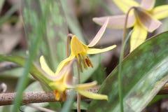 Americanum jaune de Lily Erythronium de truite Photo stock