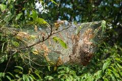 Americanum Mallacoota восточного †гнезда гусеницы шатра « Стоковое Изображение RF