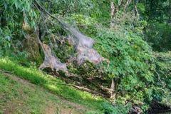 Americanum Mallacoota восточного †гнезда гусеницы шатра « Стоковое Изображение