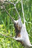 Americanum oriental de Malacosoma de Caterpillar de tente Image libre de droits