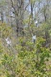 Americanum oriental de Malacosoma de Caterpillar de tente Photos stock