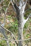 Americanum oriental de Malacosoma de Caterpillar de tente Images stock