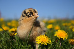 americaunafågelunge Royaltyfria Bilder