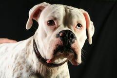 Americna Bulldog Stock Images