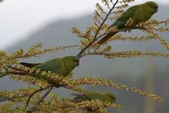 Amerika fann den austral enicognathusferrugineusen södra sydlig spets för parakiterpapegoja Fotografering för Bildbyråer