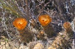 Amerika kaktuswildness Arkivfoto