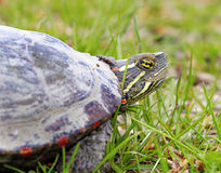 Amerika sköldpadda Arkivfoto