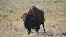 Amerikaans Bison Buffalo Licks His Lips terwijl het Lopen stock video