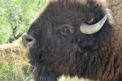 Amerikaans Bison Close Up Eating stock afbeelding