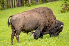 Amerikaans Bison Feeding in de Weiden royalty-vrije stock foto's