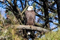 Amerikaans Kaal die Eagle op een tak wordt neergestreken Stock Foto's