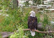 Amerikaans Kaal die Eagle op een tak wordt neergestreken stock afbeeldingen