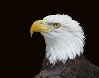 Amerikaans Kaal Eagle dat op Zwarte wordt geïsoleerd Royalty-vrije Stock Foto's