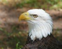 Amerikaans Kaal Eagle Stock Fotografie